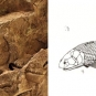 Double colour image of brown rock with fossilized fish scales and drawing of fish