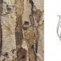 Double colour image of brown rock with vertical black stripes and drawing of plant