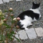 Colour image of garden path with flowers, black and white cat and gray rock blocks marking gravel path
