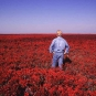 Colour photograph of a man in blue clothes standing in a field of red plants
