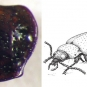 Double colour image of a shiny brown fossil and a sketch of a beetle