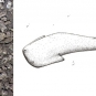 Double colour image of black and gray fossilized fish scales and drawing of shark-like animal