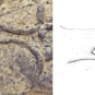 Double colour image of brown rock with serpentine trail and drawing of worm-like animal
