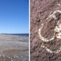Double colour image of red rock beach and white insect fossil in red rock